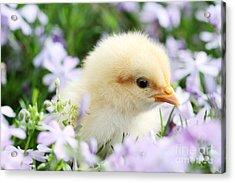 Spring Chick Acrylic Print by Stephanie Frey
