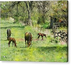 Spring Colts Acrylic Print