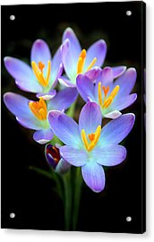 Acrylic Print featuring the photograph Spring Crocus by Jessica Jenney