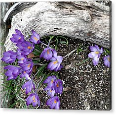 Spring Crocuses And Driftwood Acrylic Print by Kate Gallagher