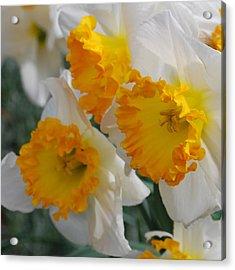 Spring Daffodils Acrylic Print by Linda Sramek