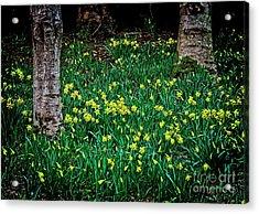 Spring Daffoldils Acrylic Print