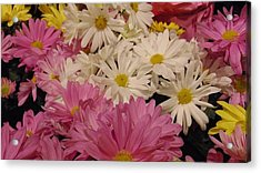 Spring Daisies Acrylic Print by Charlotte Gray
