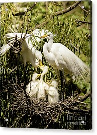 Acrylic Print featuring the photograph Spring Egret Chicks by Robert Frederick