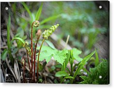 Acrylic Print featuring the photograph Spring Ferns by Alex Blondeau