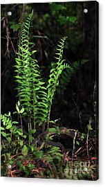 Acrylic Print featuring the photograph Spring Ferns by Skip Willits