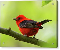Spring Flame - Scarlet Tanager Acrylic Print