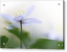 Spring Flower Fragility Acrylic Print by Dirk Ercken