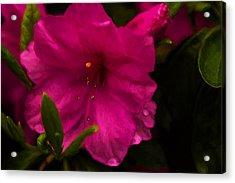 Spring Flowering Beauty - Azalea Floral Acrylic Print by Barry Jones