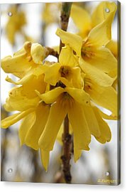 Spring Forsythia Blossoms Acrylic Print by Angie Runyan