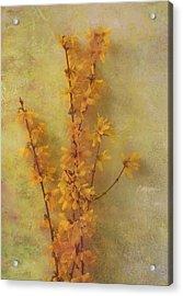 Spring Forsythia Acrylic Print by Catherine Alfidi