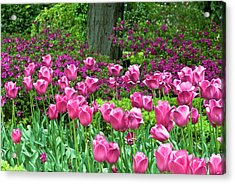 Acrylic Print featuring the photograph Spring Garden - Pink Tulip Border by Frank Tschakert