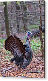 Acrylic Print featuring the photograph Spring Gobbler by Bill Wakeley