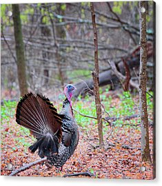 Acrylic Print featuring the photograph Spring Gobbler Square by Bill Wakeley