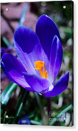 Spring Has Arrived In Maine Acrylic Print by Elizabeth Dow