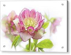 Spring Hellebore Acrylic Print by Jacky Parker