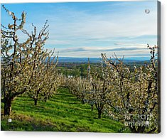 Spring In The Orchard Acrylic Print