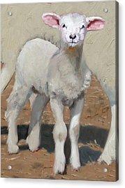 Spring Lamb Acrylic Print by John Reynolds