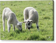 Acrylic Print featuring the photograph Spring Lambs by Scott Carruthers