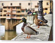 Spring Love Ducks Acrylic Print