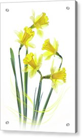 Spring Narcissus Acrylic Print by Jacky Parker