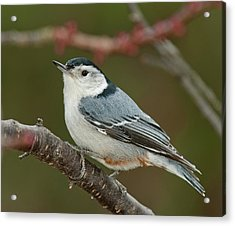Acrylic Print featuring the photograph Spring Nuthatch 2017 by Lara Ellis