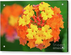 Spring Ornament Acrylic Print by Steven Dillon