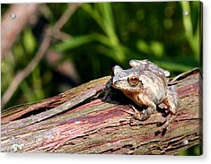 Spring Peeper Acrylic Print by Betsy LaMere