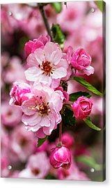 Spring Pink Acrylic Print