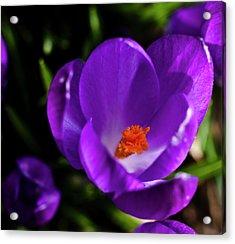 Spring Pollen Acrylic Print by ShaddowCat Arts - Sherry