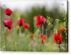 Spring Poppies  Acrylic Print by Perry Van Munster