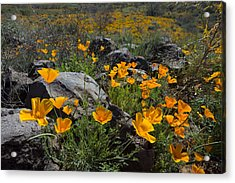 Spring Poppies Acrylic Print