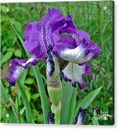 Spring Purple Iris Acrylic Print by Marsha Heiken