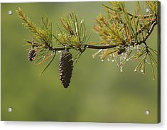 Spring Rain And Pinecone Acrylic Print by Michael Eingle