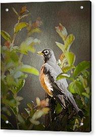 Spring Robin Acrylic Print