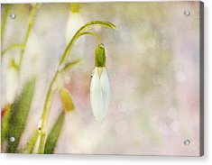 Spring Snowdrops And Bokeh Acrylic Print by Peggy Collins