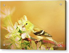 Acrylic Print featuring the photograph Spring Song Bird by Darren Fisher