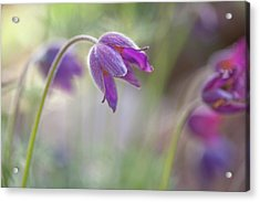 Spring Song Acrylic Print by Jenny Rainbow