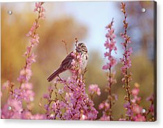 Acrylic Print featuring the photograph Spring Sparrow by Lynn Bauer