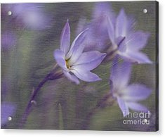 Acrylic Print featuring the photograph Spring Starflower by Eva Lechner