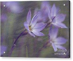 Spring Starflower Acrylic Print by Eva Lechner