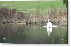Spring Swan Acrylic Print by Wendy Shoults