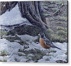 Spring Thaw - American Robin Acrylic Print by Craig Carlson