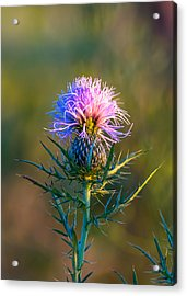 Spring Thistle Acrylic Print