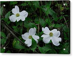 Acrylic Print featuring the photograph Spring Time Dogwood by Mike Eingle