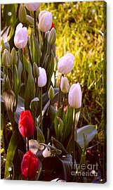 Acrylic Print featuring the photograph Spring Time Tulips by Susanne Van Hulst