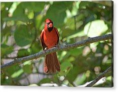 Spring Training Cardinal Acrylic Print