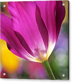 Acrylic Print featuring the photograph Spring Tulip by Rona Black