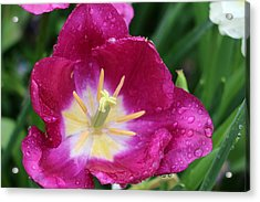 Spring Tulips 47 Acrylic Print by Pamela Critchlow