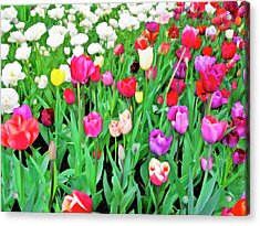 Spring Tulips Flower Field I Acrylic Print by Artecco Fine Art Photography